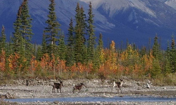 nwt-Mountain_Caribou_on_the_Redstone_River_Photo_by_Craig_Scott-940x360-600x360.jpg