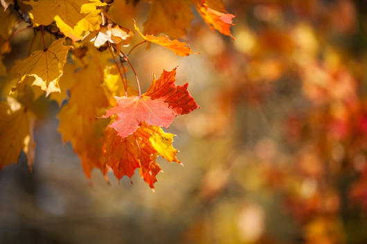 Autumnal-leaves,-red-and-yellow-maple-foliage-against--forest-000075867757_Medium.jpg